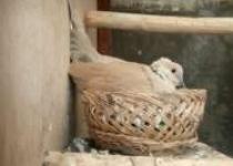 Breeding Burung Anggungan Puter…