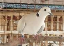 Kangen Seni Suara Burung Gelaran…