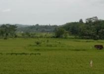 Inspirasi alam sawah desa menentramkan jiwa