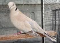 Komunitas Penghobi Burung Puter Jogja Ngabuburit  Dan Buka Bersama  2021