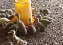 Prospek usaha breeding itik petelur…