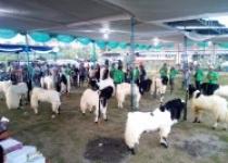 Tips memilih kambing ternak dan…