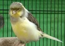 Breeding Burung Kenari Di Masa…