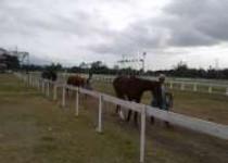 155 Ekor Kuda Akan Berlaga Memperebutkan…