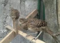 Ayam tibet bisa di kembangkan harga…
