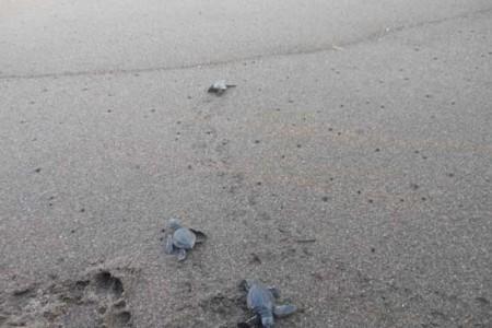 Tukik Tukik Lucu di Lepas di Pantai Selatan Bantul