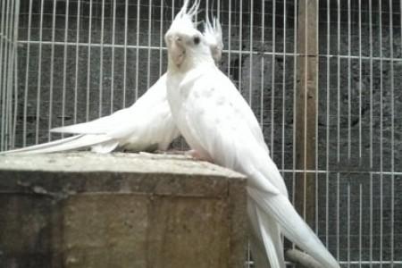 Burung  berkicau valg berjambul bisa menghibur hati