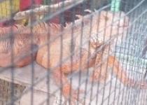 Nich Warna Warni Jenis Iguana 'Ada…
