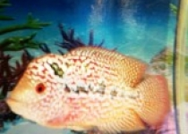 Tips Breeding Ikan Hias Louhan…