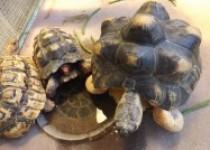 Kura-kura minum dan makan habis…
