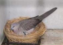 Tips sukses beternak burung derkuku…