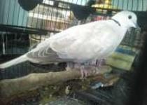 Orang Jawa Suka Memelihara Burung…