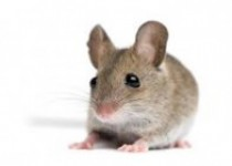 Serangan Tikus Meraja Lela, Mengerikan…