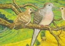 Anakan burung perkutut umur sebulan…