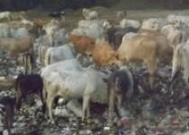 2000 Sapi Tiap Hari Makan Sampah…