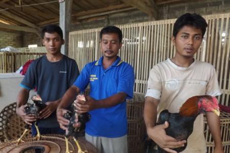 Ayam Bangkok,  Ayam Potkay  Ngetrend Dari Pacitan