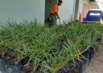 Paryoto Petani Inspiratif Pengembang tanaman Kurma Sukses