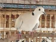 Kangen Seni Suara Burung Gelaran Latpres Burung Puter Cempoko Bangkit  Bantul 2021 Meriah