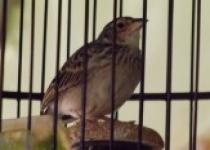 Burung Branjangan Berkicau Cerdas…