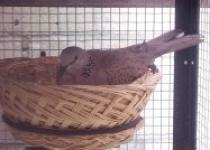 Breeding burung anggungan derkuku…