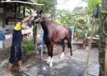 Laga Pacuan Kuda Jateng Derby 2019…