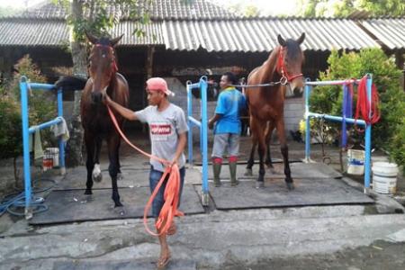 Pacukan Kuda Bupati Bantul Cup 195 Kuda Siap Ramaikan Kompetisi 2019
