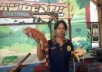 Perbedaan Iguana Jantan dan Betina…