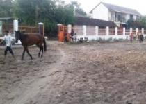 Perhelatan Akbar Pacuan Kuda Piala…