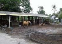 H.Subardiyono Beternak Kuda Di…