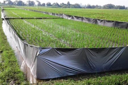 Serangan Hama Tikus Merajarela, Ini Cara yang Dilakukan BPTP Yogyakarta