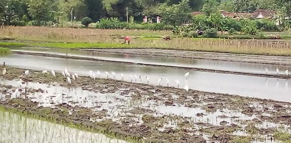 <a href='https://www.pastvnews.com/burung/membajak-sawah-petani-di-temani-burung-bangau.html'>Membajak Sawah Petani Di Temani Burung Bangau</a>