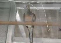 Mengenal Burung Jenis Familia Columbiade