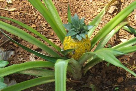 Kebun Nanas Muncul Di Desa Wisata Gunungkidul